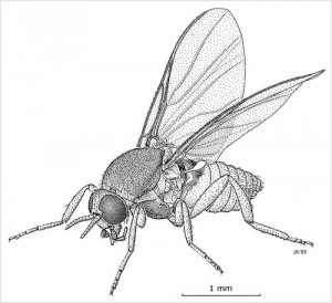 NZ Sandfly